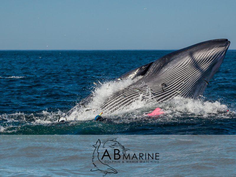 Baitball Brydes Whale