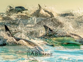 Common dolphin hunting