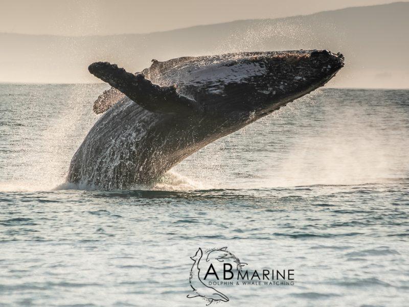 Humpbackwhale breach
