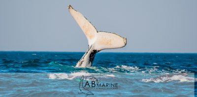 Humpbackwhale tail breach