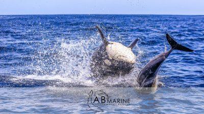 Orca kills Dolphin