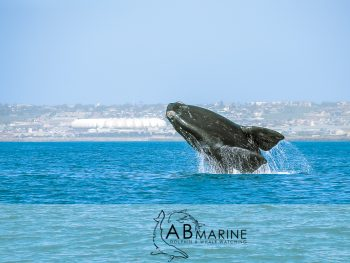 Southern Right Whale breaches infront Port Elizabeth