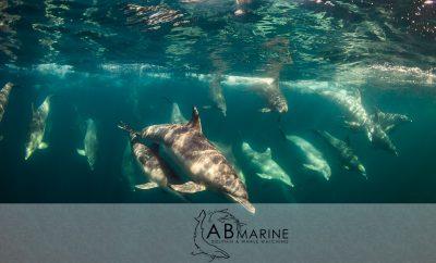 Bottelnose dolphin Underwater Evans