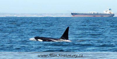 Killer Whale - Orca