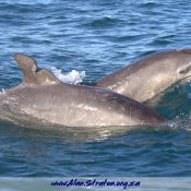 Dolphin Dorsal Damaged
